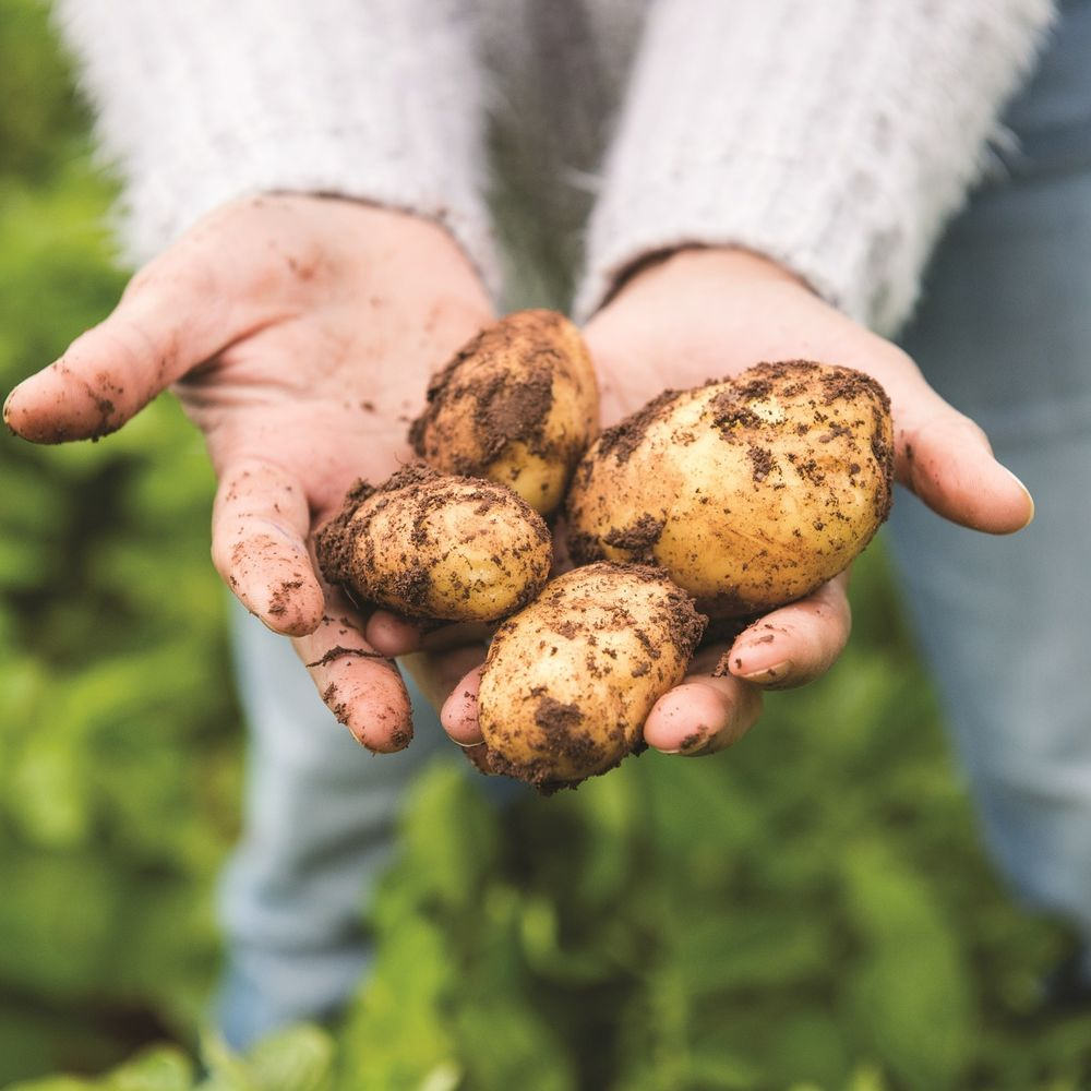 Blas Potatoes In hands 1